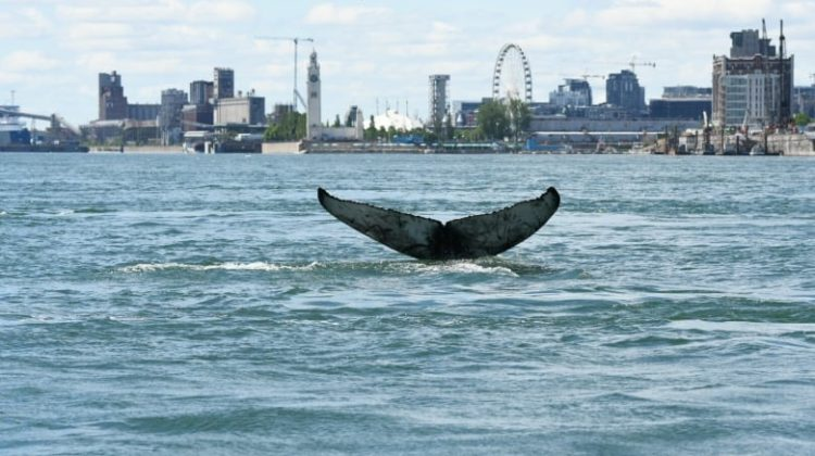 Best Pictures & Videos of Montreal's Humpback Whale